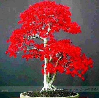 American Seeds Árbol de arce rojo - Arce también Bueno para Bonzai