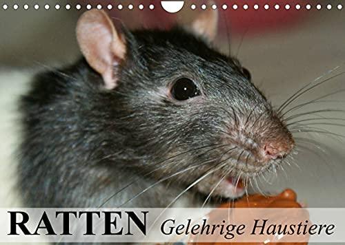 Ratten - Gelehrige Haustiere (Wandkalender 2022 DIN A4 quer)