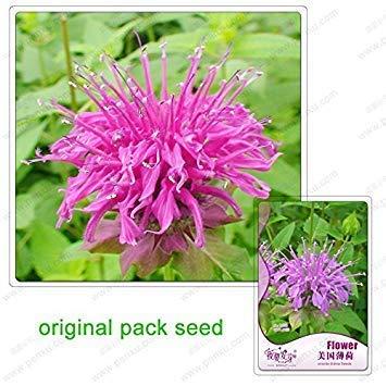 Potseed 60 Samen/Pack, Goldmelisse Samen, United States Mint, Balkon Topfpflanzen, Gartenblumensamen