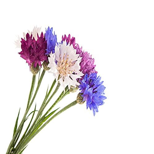 Charm4you Perenne Resistente Semillas,Aciano Park Seed-Feather 500 cápsulas,Semillas de Plantas Verdes
