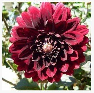 dahlias de jardin des plantes semences pour le bricolage jardin - Dahlias 10pcs / lot