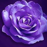 DNelo Semillas Plantas 100 Piezas Frescas Las Semillas de Rose Planta RARA Jardín de la Flor de Techo Balcón Decoración Bonsai - Semillas de Purple Rose