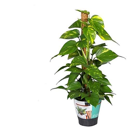 Efeutute am Moosstab 60-80 cm Epipremnum Aureum Zimmerpflanzen rankend Ampelpflanzen
