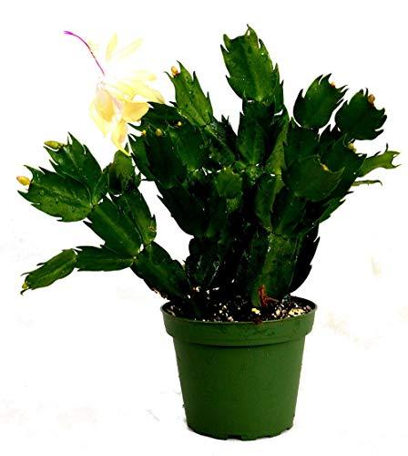 Yellow Christmas Cactus Live Plant Zygocactus 4' Pot Best Gift - USA_Mall