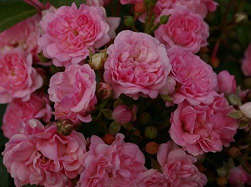 Bodendeckerrose Pink Swany® syn. Les Quattre Saisons - Rosa Pink Swany® syn. Les Quattre Saisons - rosa - Beetrose -Duft+ - Poulsen-Rose - ADR-Rose -...