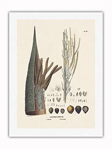 Pacifica Island Art Palmera Jauari (Astrocaryum Januari) - Flor y Semilla - Ilustración botánica de Carl Friedrich Philipp Von Martius c.1800s - Impresión de Arte Papel Premium de Arroz Unryu