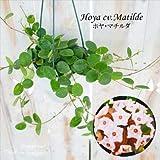 ホヤ マチルダ (カルノーサ×セルペンス) 4号鉢 吊り鉢 サクララン 観葉植物 インテリア
