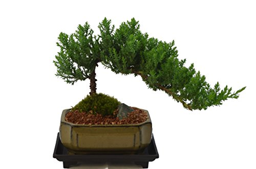 Japanese Juniper, Traditional Bonsai, Windswept Style, 5 Years Old, Free Watering Tray.