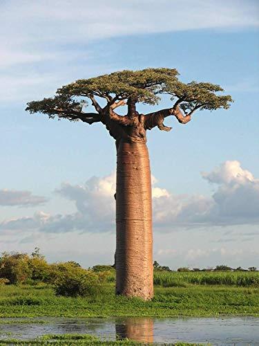 5 Adansonia grandidieri Samen, Grandidier Baobab, Giant Baobab Seeds