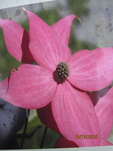 Japanischer Blumenhartriegel Scarlet...
