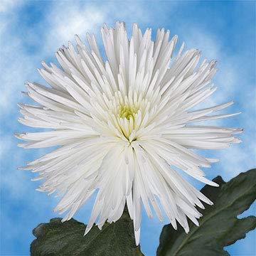 GlobalRose 50 Fresh Cut White Fuji Spider Mums - Fresh Flowers For Birthdays, Weddings or Anniversary. from Globalrose