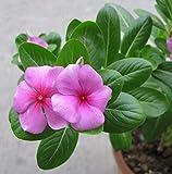 Vinca Plants Pink Seeds 20pcs Pervinca organica Catharanthus Roseus Bello Molto facile da coltivare Piante Semi di fiori per piantare Giardino Cortile all'aperto