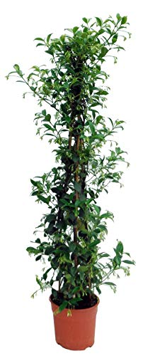 Hierba de Botanicly – jazmín estrella – Altura: 110 cm – Trachelospermum Jasminoides