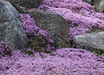 VISA STORE Thymian 400 Samen Schöner Teppich von Purples und Zitronenduft