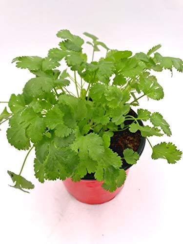 Koriander Pflanze, Persicher Koriander,Coriandrum sativum Kräuter Pflanze 1stk.