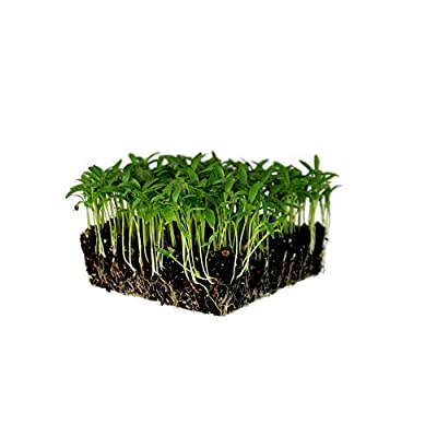 Slow Bolt Cilantro Herb Seeds: Non-GMO Microgreens & Herbal Gardening Seeds