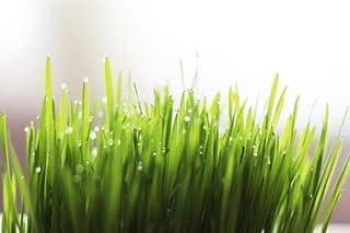 zaafshop Wheatgrass 250+ Seeds *Organic* Sprouts or Cats Grass Seeds Boondie Seeds Garden