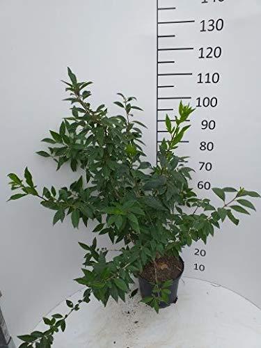 Späth Forsythie 'Lynwood' Heckenpflanze winterhart Zierstrauch gelb blühend 1 Pflanze Höhe 60-80, Container C 7,5