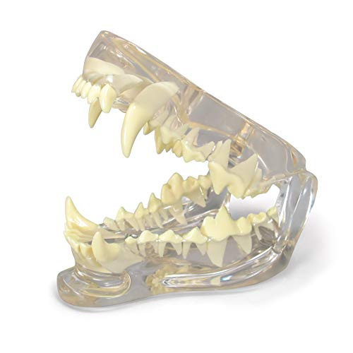 Clear Canine Dental Model   Animal Body Anatomy Replica of Dog Jaw w/Teeth for Veterinary Office Educational Tool   GPI Anatomicals