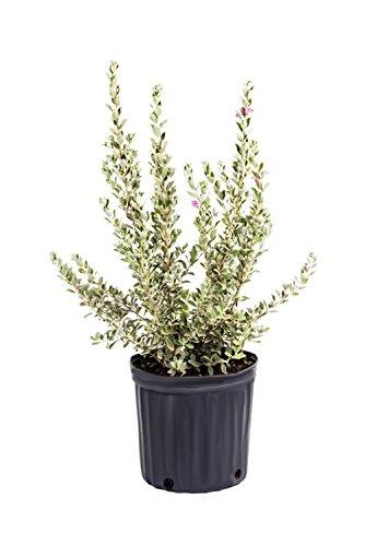 AMERICAN PLANT EXCHANGE Texas Sage Live Plant, 3 Gallon, Lavender Purple Flowers