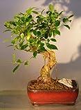 Bonsai Boy's Ficus Retusa Bonsai Tree - Medium Curved Trunk Style
