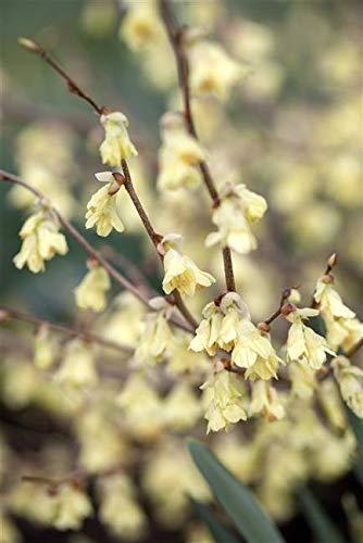 Niedrige Scheinhasel Corylopsis pauciflora Gartenpflanze im Topf gewachsen ca. 40-60cm