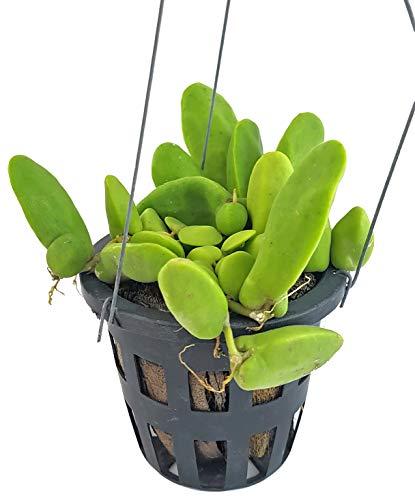 Fangblatt - Dischidia Major - großblättrige Urnenpflanze - exotische Zimmerpflanze für den besonderen Flair Zuhause