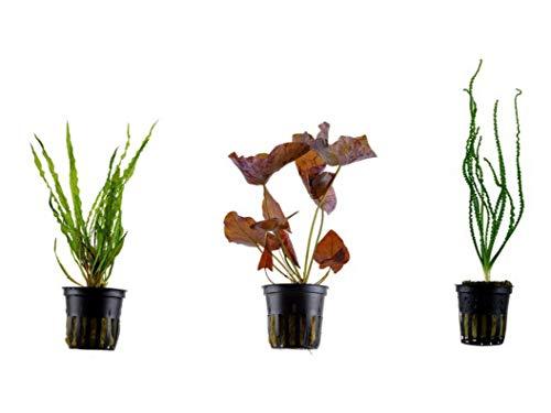 Tropica Exclusives Set mit 3 Topf Pflanzen Aquariumpflanzenset Nr.40 Wasserpflanzen Aquarium Aquariumpflanzen