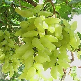 Raisins Finger or Graines rares fruits Graines-50Pcs