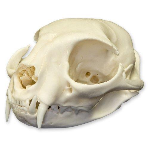 Real Domestic Cat Skull - Adult