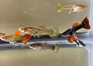DailyEssential Live Guppies Tropical Pet Fish - 2 Assorted Males