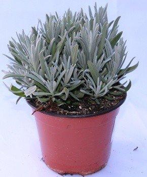 Lavanda (Maceta 13 cm Ø) - Planta viva - Planta aromatica