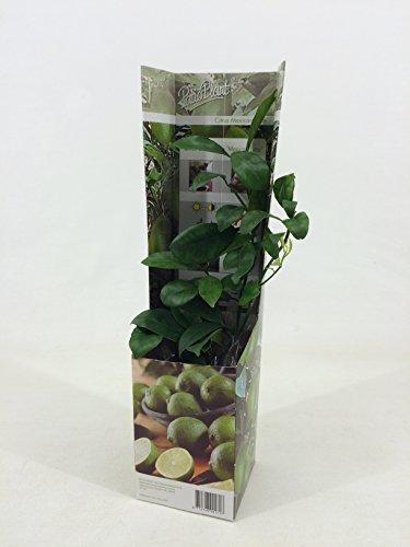 Obst (Citrus aurantifolia (echte Limette))