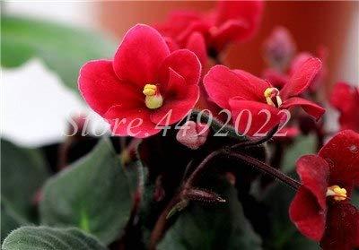 AGROBITS Des graines: 300 pcs Mini Bonsai Violet Plantes rares pour le jardin Plante en pot couvert hiola: 16