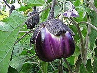 発芽種子:50 - 種子:ナス種子 - ヴィオレッタディフィレンツェ - 大ずんぐり-家宝スタッフィングバラエティ - グレート!