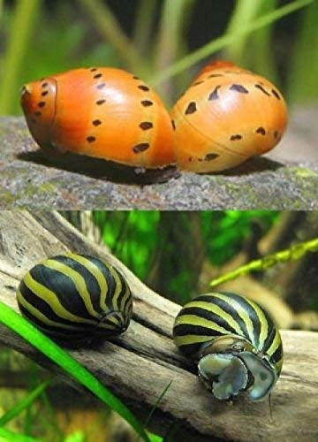 WorldwideTropicals Live Freshwater Aquarium Fish - (12) Varied Nerite Snails - 12 Pack of Mixed Nerites(Zebra, Red Spotted, Horned) - by Populate Your Fish Tank!