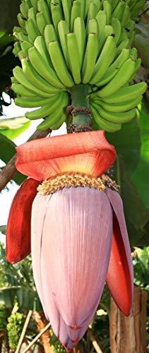 Musa balbisiana gigantea - Japanische Fruchtbanane - 10 Samen -