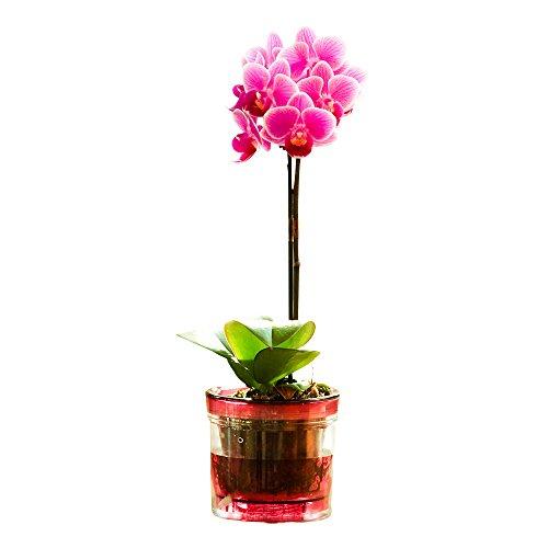 【母の日受付締切5/1】ミニ胡蝶蘭 マイクロ胡蝶蘭2.5号鉢植え アクアポット 1本立て /お中元 ギフトに花のプレゼント 開店祝いに 母の日 (ピンク)