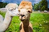 Fotografie Tier Alpaka Lama XXL Wandbild Kunstdruck Foto