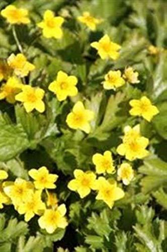 Waldsteinia ternata 50 Stück Golderdbeere Bodendecker Schattenlagen T9x9