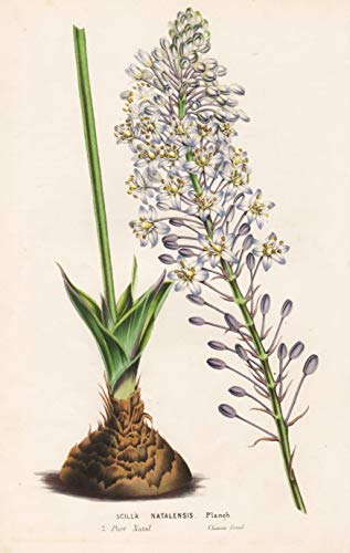 Scilla Natalensis - South Africa flower...