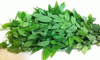 12 Katuk cuttings - Sweet Leaf Plant - Sauropus Androgynus Live Plant