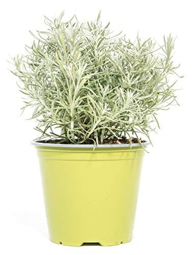 mgc24 Currykraut, echte frische Kräuter Pflanzen im 14cm Topf, Helichrysum italicum, Höhe ca. 10cm