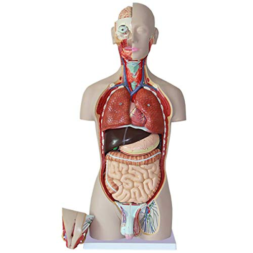 FIZZENN 27-Part Doppel-Sex Menschlicher Torso Modell, Detailliert Human Body Model hat 27 Removable Menschliche Organe für Wissenschaft Klassenzimmer Studie Anzeige Teaching Medical Modell