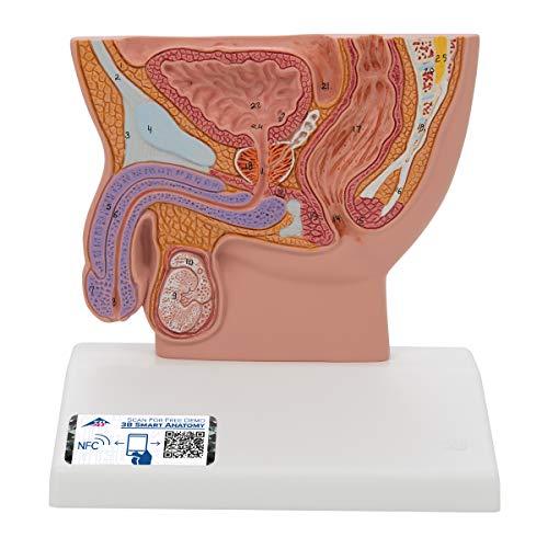 3B Scientific H12 Modelo de anatomía humana Sección Trasversal de la Pelvis Masculina, Tamaño Natural + software de anatomía gratuito - 3B Smart Anatomy