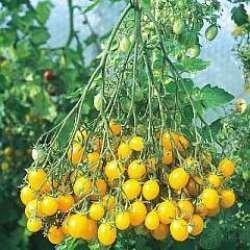 Il vous suffit de graines de tomate???Llidi???35?graines de