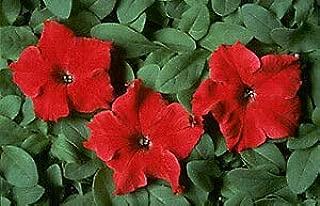 Petunia Dreams Red 1,000 Seeds