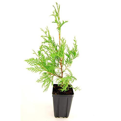 American Arborvitae 50 Seeds - Thuja Occidentalis Tree Seeds, White Cedar Seeds, Thuja Green Giant Arborvitae Bush Seeds for Planting, Dwarf Arborvitae Evergreen Hedge Seeds