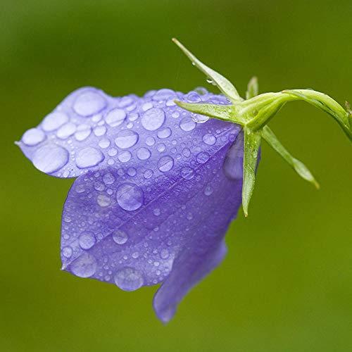 XINDUO mehrjährig winterhart Samen,Campanula, Landschaftspflanze, Blütenart-0,5kg,Samen für Ihr Garten Balkon