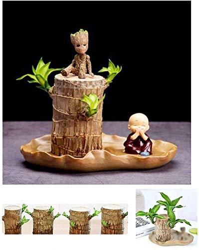 Brasilianische Holz, Brasilien Glück Badan Holz Hydroponische Topfpflanze Stumpf Kleine Mini Pflanze, Pflanze Glück Holz Holz Innenbüro Desktop Grünpflanzen mit Waschbecken - Breite 7-8CM hoch 10CM